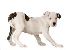 Terrier de Staffordshire americano imagenes de archivo