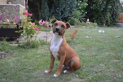 Terrier de Staffordshire americano fotografia de stock