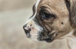 Terrier de Staffordshire americano Foto de Stock