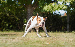 Terrier de Staffordshire americano Imagen de archivo libre de regalías