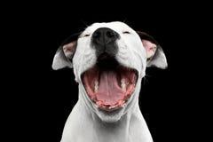 Terrier de Staffordshire americano Foto de archivo libre de regalías