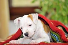 Terrier de Staffordshire americano del perrito Foto de archivo