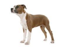 Terrier de Staffordshire americano do cachorrinho Imagem de Stock