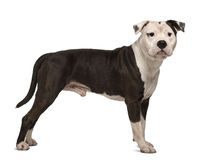 Terrier de Staffordshire americano, estando Fotografia de Stock Royalty Free