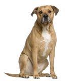 Terrier de Staffordshire americano mezclado imagen de archivo
