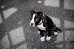 Terrier de Staffordshire Bull   Imagens de Stock Royalty Free