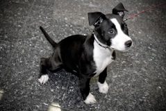 Terrier de Staffordshire Bull Fotografia de Stock Royalty Free