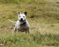 Terrier de Staffordshire Bull Imagem de Stock