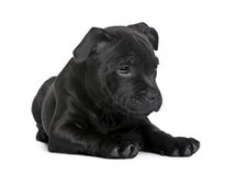 Terrier de Staffordshire Bull del perrito (2 meses) fotos de archivo libres de regalías