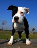 Terrier de Staffordshire Bull do filhote de cachorro Imagens de Stock
