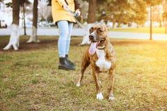 Terrier de Staffordshire para un paseo en el parque Detrás de es una muchacha que sostiene un perro en un correo fotos de archivo libres de regalías