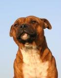 Terrier de toro de Staffordshire fotografía de archivo libre de regalías