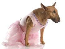 Terrier de toro femenino en tutú rosado Foto de archivo