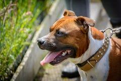 Terrier de touro inglês de Staffordshire Imagens de Stock