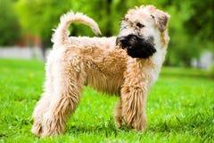 Terrier de trigo revestido suave irlandés Imagen de archivo