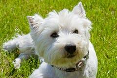 Terrier de Westhighland Imagen de archivo
