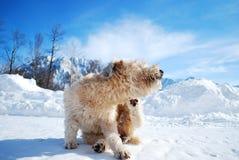 Terrier de Wheaton scatching Fotografía de archivo libre de regalías