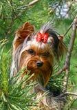 Terrier de Yorckshier Foto de Stock