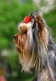 Terrier de Yorckshier com curva vermelha engraçada Imagem de Stock