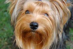 Terrier de York fotografia de stock royalty free