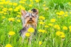 Terrier de York del hilado Foto de archivo libre de regalías