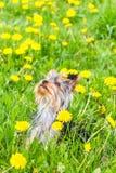 Terrier de York del hilado Fotos de archivo libres de regalías