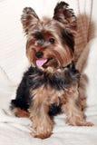 Terrier de Yorkhire Foto de Stock Royalty Free
