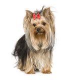 Terrier de Yorkshire (15 meses) Fotos de archivo libres de regalías