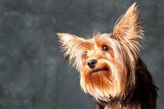 Terrier de Yorkshire Fotografia de Stock Royalty Free