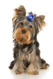 Terrier de Yorkshire Imagen de archivo libre de regalías