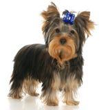 Terrier de Yorkshire Foto de archivo libre de regalías