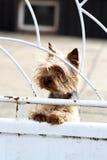 Terrier de Yorkshire Imagenes de archivo