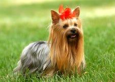 Terrier de Yorkshire Fotos de Stock