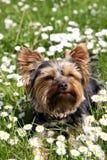 Terrier de Yorkshire Fotografía de archivo