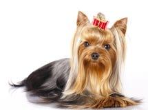 Terrier de Yorkshire imagens de stock royalty free