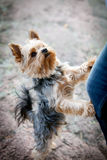 Terrier de Yorkshire foto de archivo
