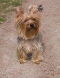 Terrier de Yorkshire 3 Foto de archivo libre de regalías