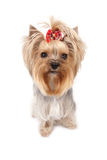 Terrier de Yorkshire Foto de Stock Royalty Free