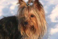 Terrier de Yorkshire Fotografia de Stock