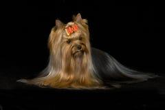 Terrier de Yorkshire Imagem de Stock Royalty Free