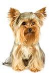 Terrier de Yorkshire Imagem de Stock