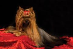 Terrier de Yorkshire Fotos de Stock Royalty Free