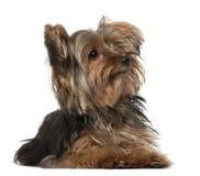 Terrier de Yorkshire, 8 meses velho Fotografia de Stock