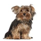 Terrier de Yorkshire, 8 meses velho Foto de Stock