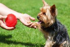 Terrier de Yorkshire attendant un jouet Le chien donne une patte à un homme image libre de droits