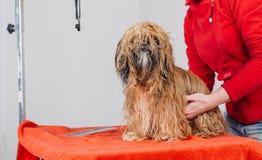 Terrier de Yorkshire avec le maître de toilettage dans le salon Photographie stock