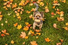 Terrier de Yorkshire avec les cheveux courts fonctionnant par le parc d'automne Le chien est symbole de nouvel 2018 ans, selon le Photo libre de droits
