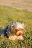 Terrier de yorkshire avergonzado Fotos de archivo