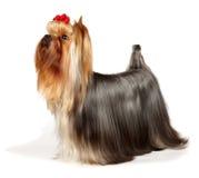 Terrier de Yorkshire bonito Imagem de Stock