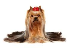 Terrier de Yorkshire bonito Foto de Stock